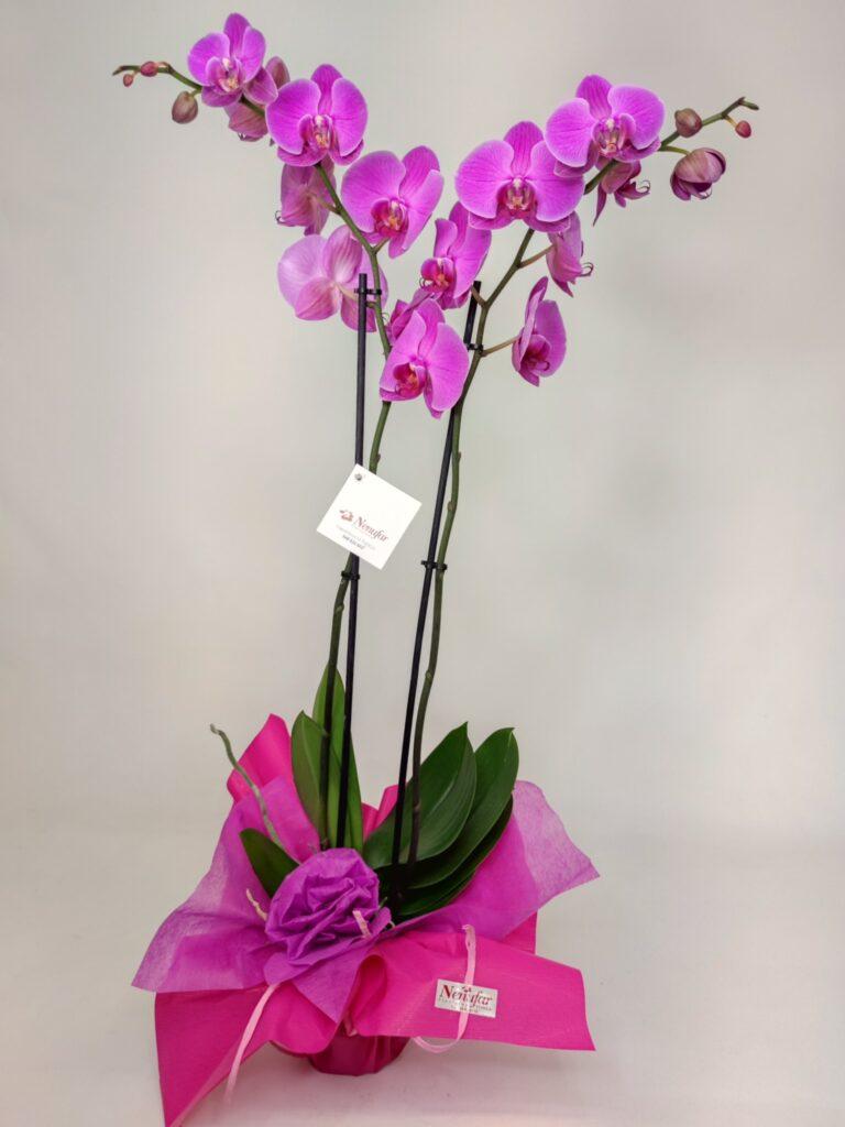 Orquídea fucsia envuelto con papel